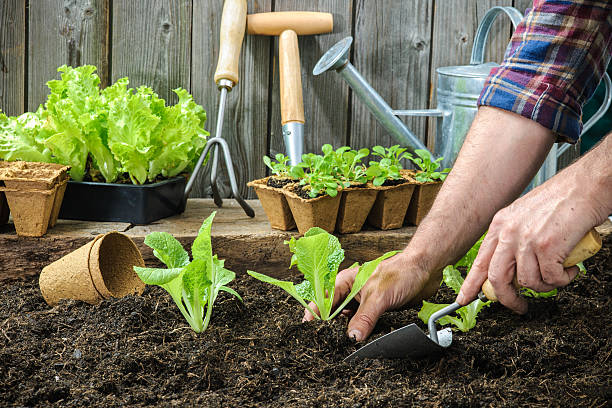 farmer planting young seedlings - zaaien stockfoto's en -beelden