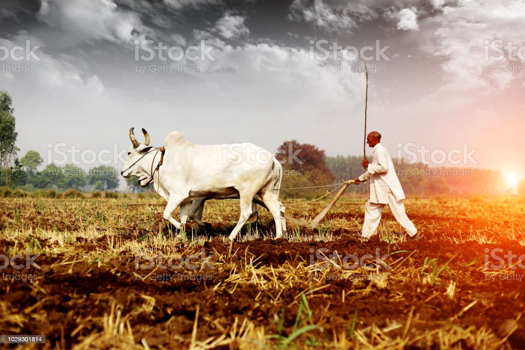 Farmer ploughing field Rural farmer of Indian ethnicity ploughing field using wooden plough which is riding by two bullock. Farmer Stock Photo