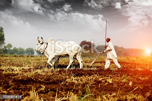 Rural farmer of Indian ethnicity ploughing field using wooden plough which is riding by two bullock.