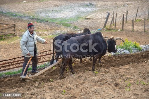 A young Indian farmer plows his field with a pair of oxen in preparation for rice planting in Harsil, uttarakhand