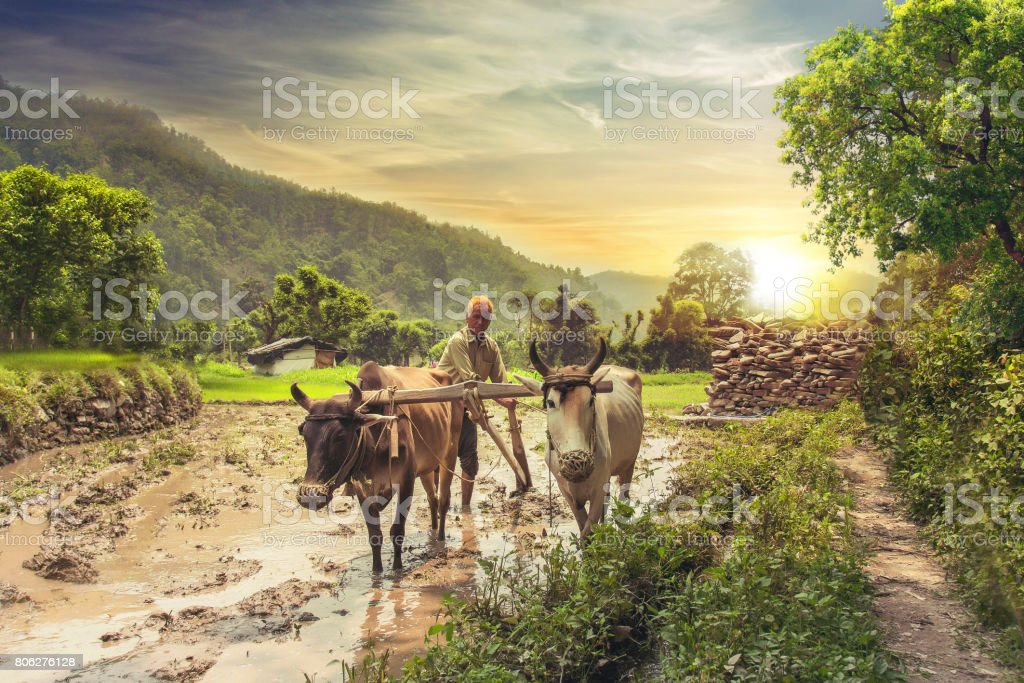 farmer ploughing rice field at sunrise stock photo more pictures