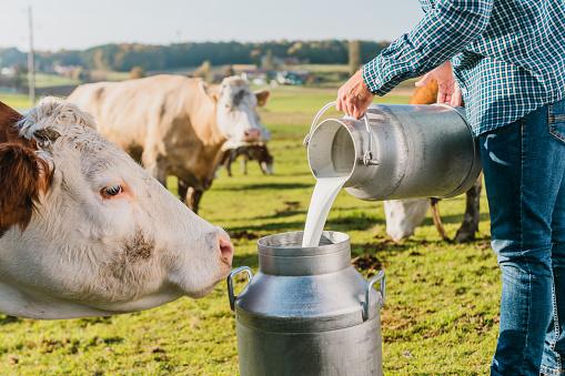 Farmer pouring raw milk into container in dairy farm.