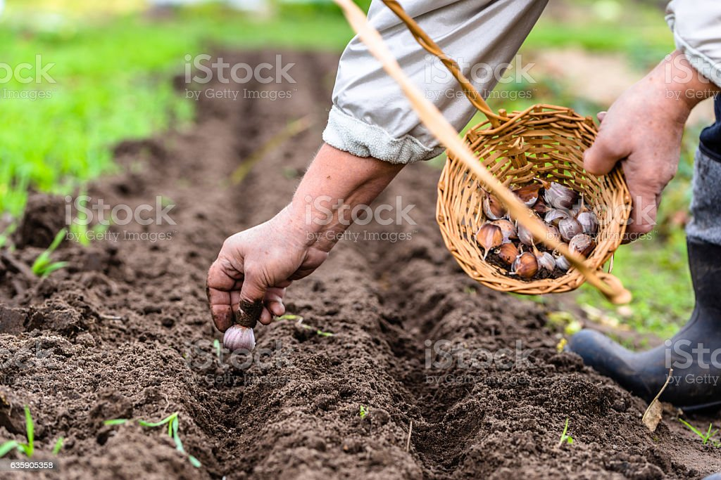 Farmer preparing garlic for planting, vegetable garden, autumn gardening - foto stock