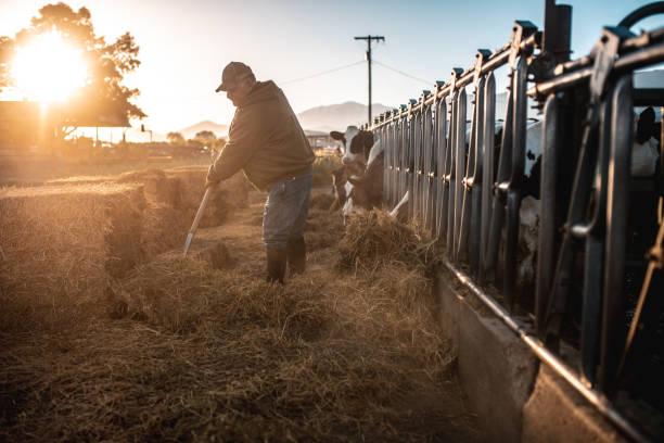 Farmer preparing hay for cows in a pen stock photo