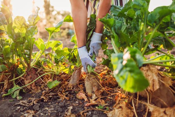 Farmer pulling beetroot out of soil. Autumn harvesting. Picking vegetables.