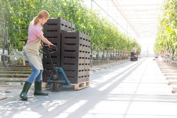 Landwirt drückt Tomatenkisten auf Palettenkisten von Pflanzen im Gewächshaus – Foto