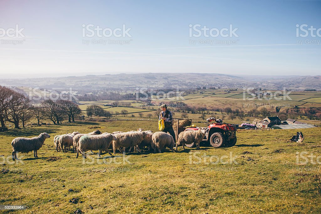 Farmer Putting Out Feed for the Sheep stock photo