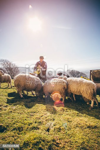 istock Farmer Putting Out Feed for the Sheep 532334836