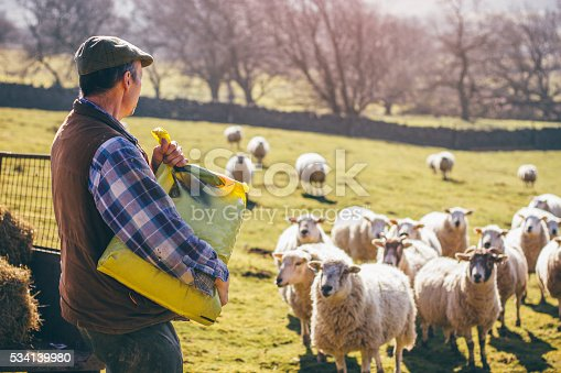 istock Farmer Putting Out Feed for the Sheep 534139980