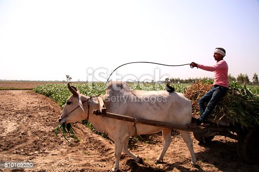 Young farmer of Indian ethnicity riding ox cart loaded with sorghum crop near green field.