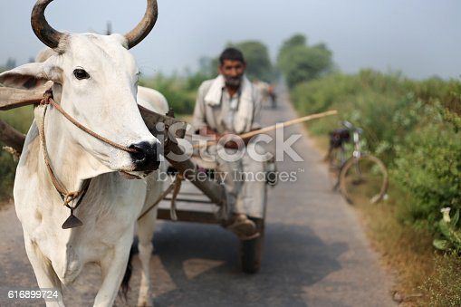 Old farmer riding Oxcart on the road.