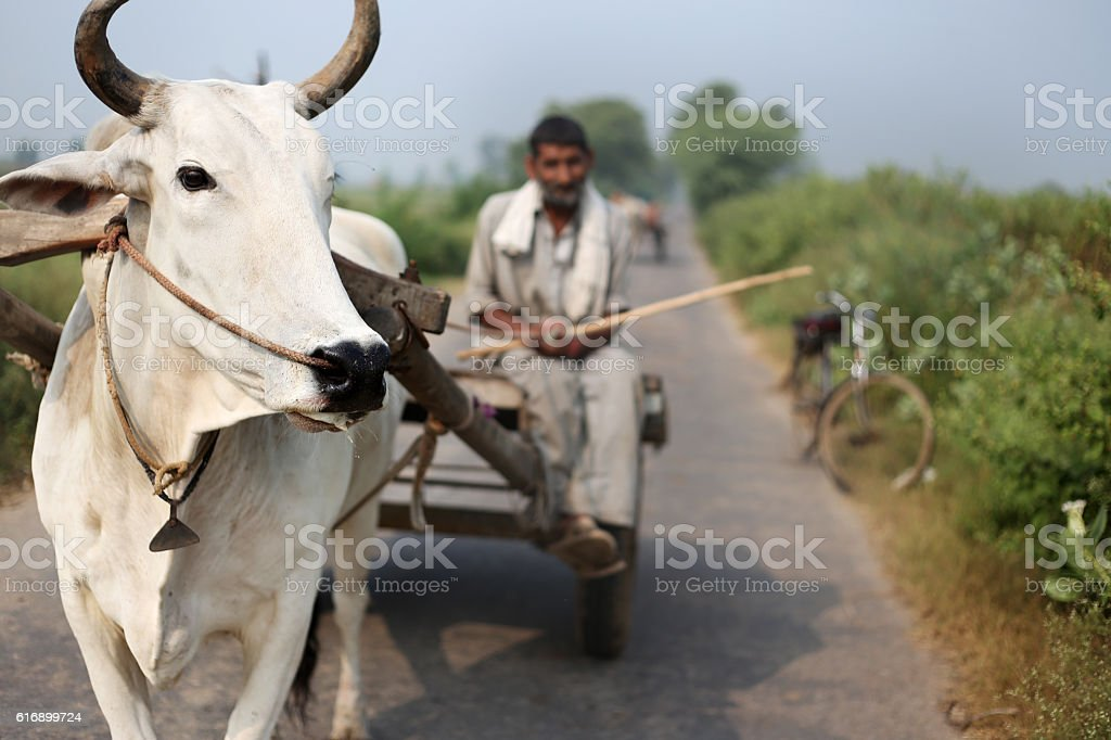 Farmer Riding Oxcart stock photo