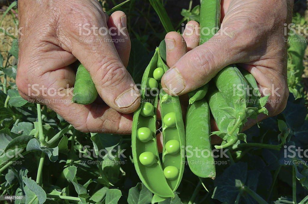 Farmer showing fresh open peas royalty-free stock photo