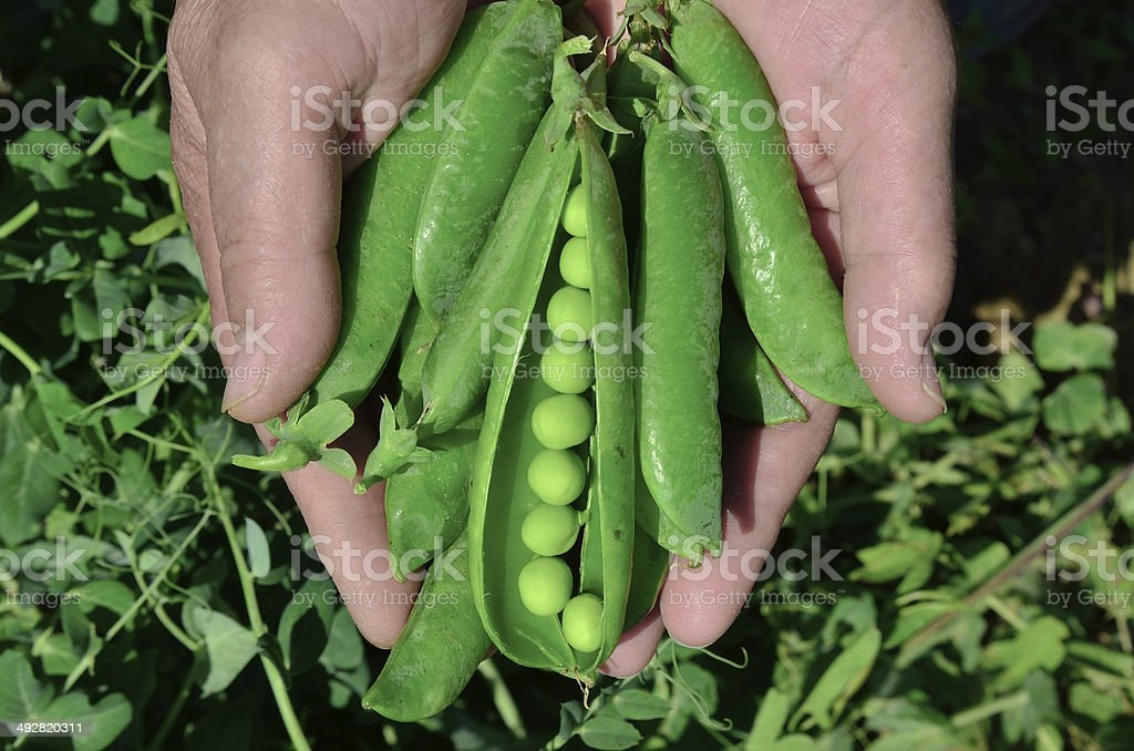 Farmer showing fresh open peas royalty-free stock photo