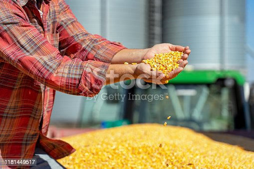 Farmer's Hands Holding Harvested Grain Corn. Farmer with corn kernels in his hands sitting in trailer full of corn seeds.