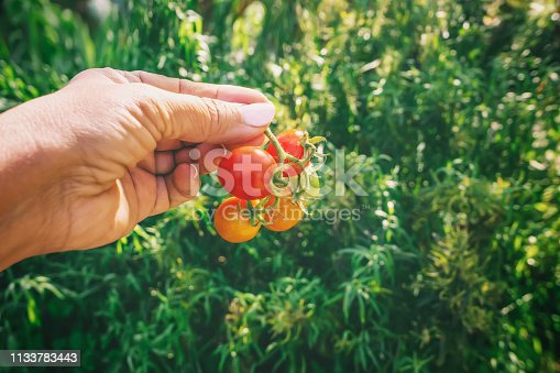 Woman hand harvesting wild cherry tomatoes grow in the garden, closeup shot of red ripe tomatoes in hand, a bunch of fresh fruits on a green blur background