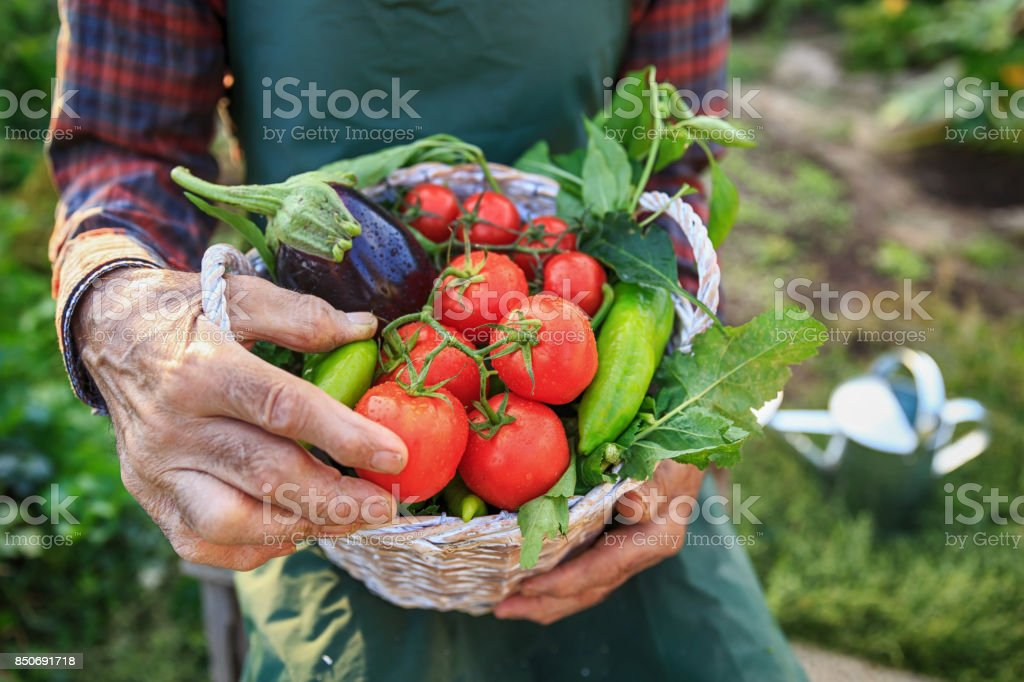 Farmer sitting and holding a crate with vegetables in garden stock photo