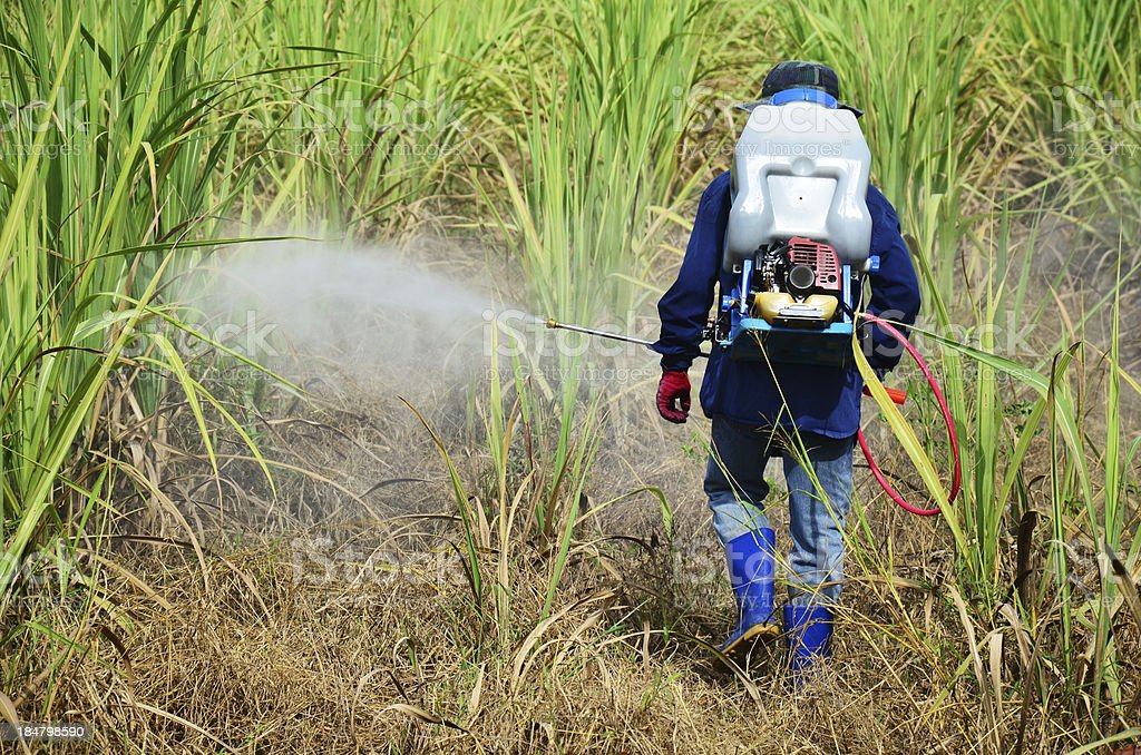 Farmer spraying herbicide on Sugarcane Field stock photo