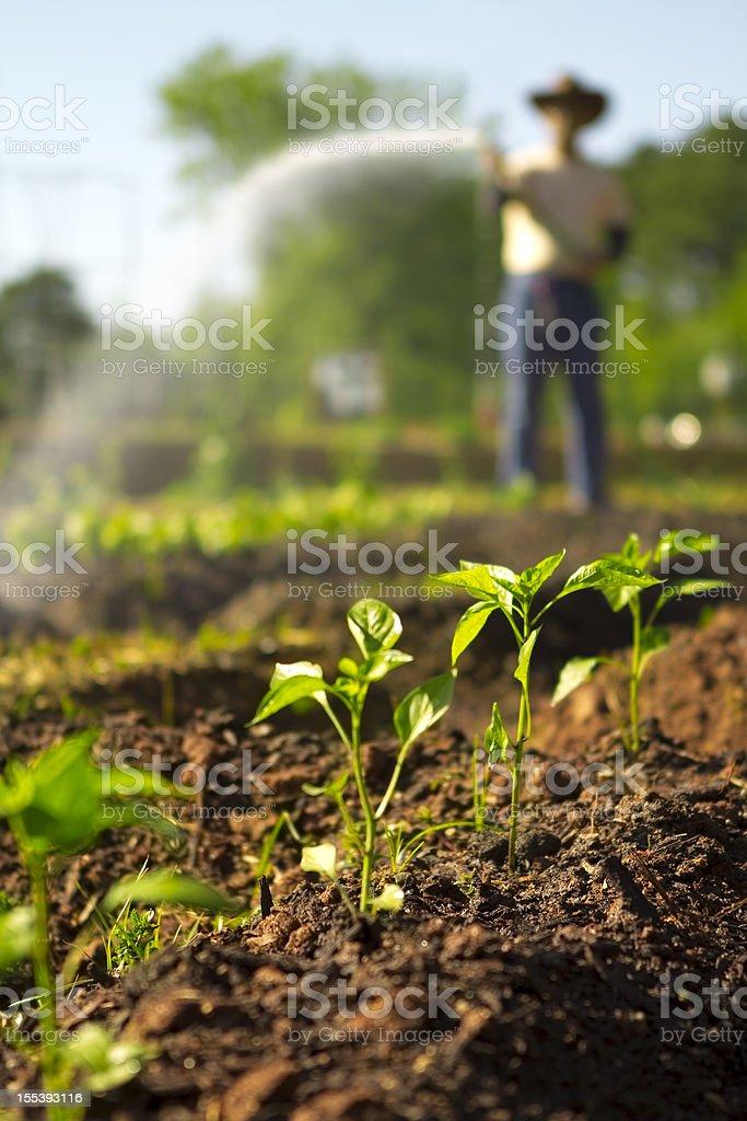 Farmer spraying his garden royalty-free stock photo