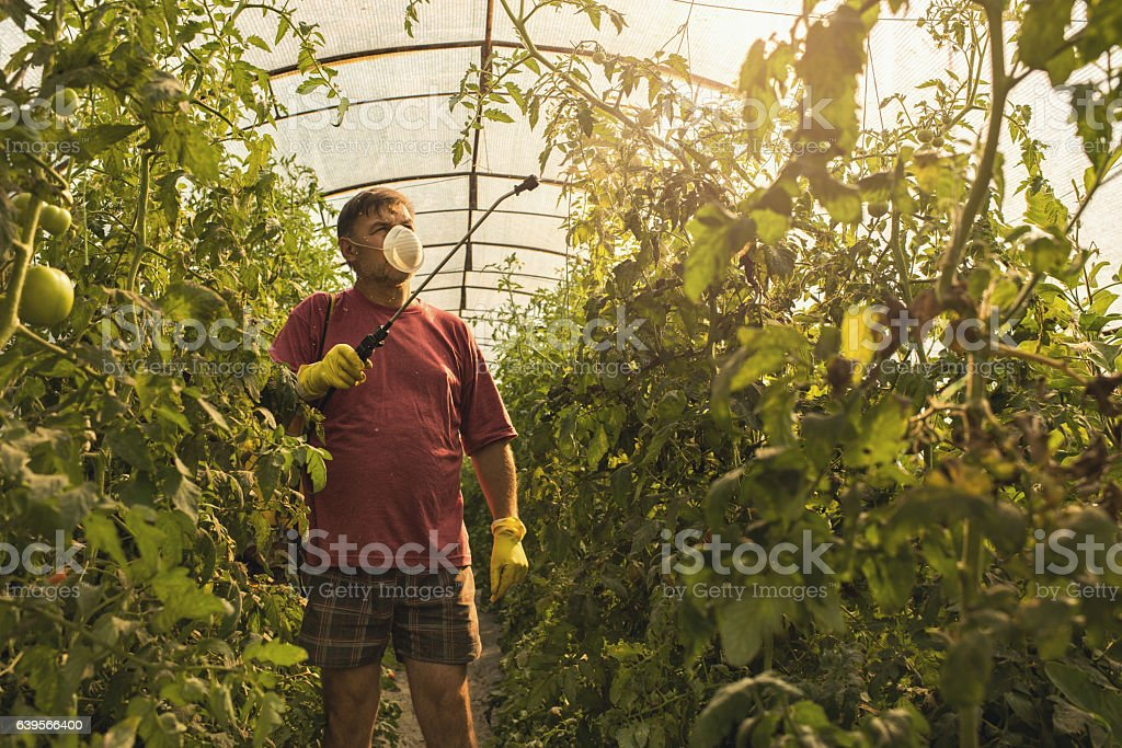 Farmer spraying his tomatoes in a polyethylene tunnel. stock photo