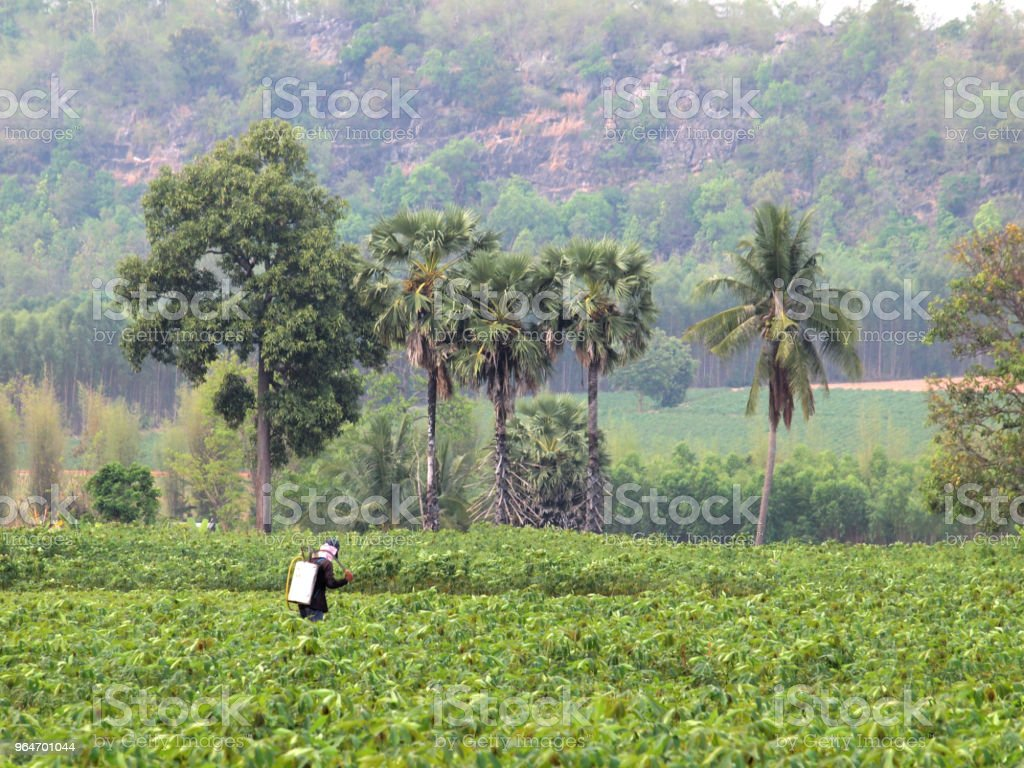 farmer spraying pesticide in the cassava field royalty-free stock photo