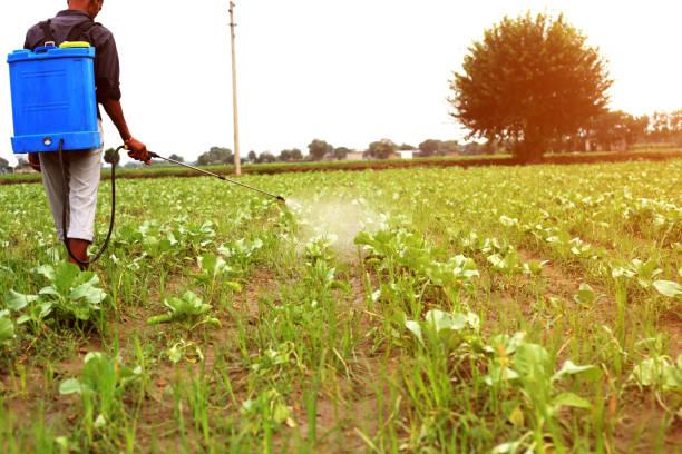 Farmer spraying pesticide on cauliflower crop stock photo