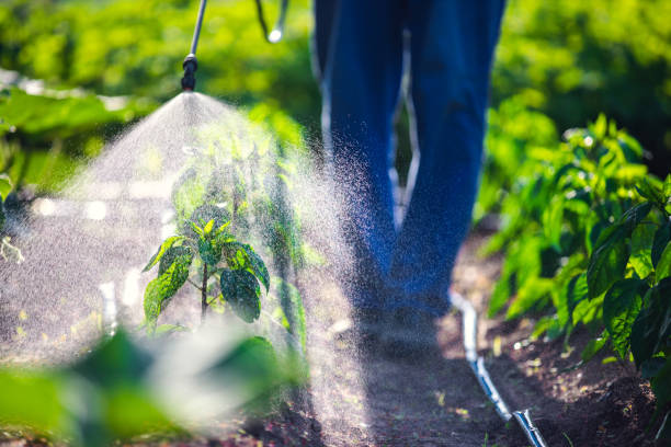 Farmer spraying vegetable green plants in the garden with herbicides, pesticides or insecticides Farmer spraying vegetable green plants in the garden with herbicides, pesticides or insecticides. fertilizer stock pictures, royalty-free photos & images