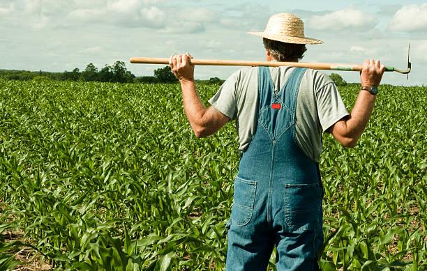 farmer standing in a corn field stock photo