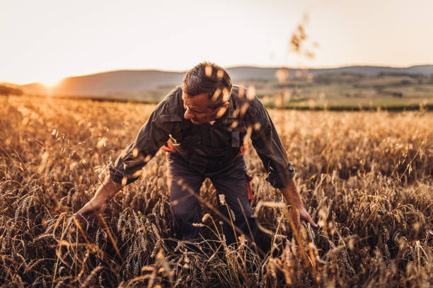 farmer standing in a golden wheat field - barley stock pictures, royalty-free photos & images