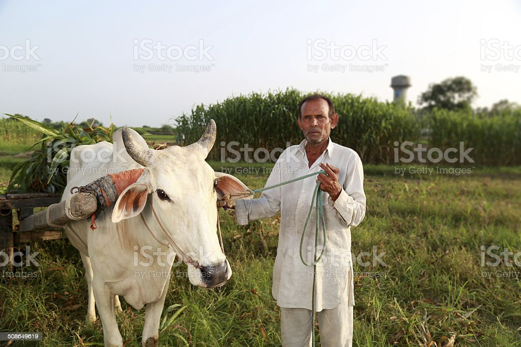 Farmer Standing With Ox Cart stock photo