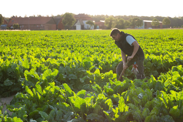 farmer stands in his field, looks at sugar beets stock photo
