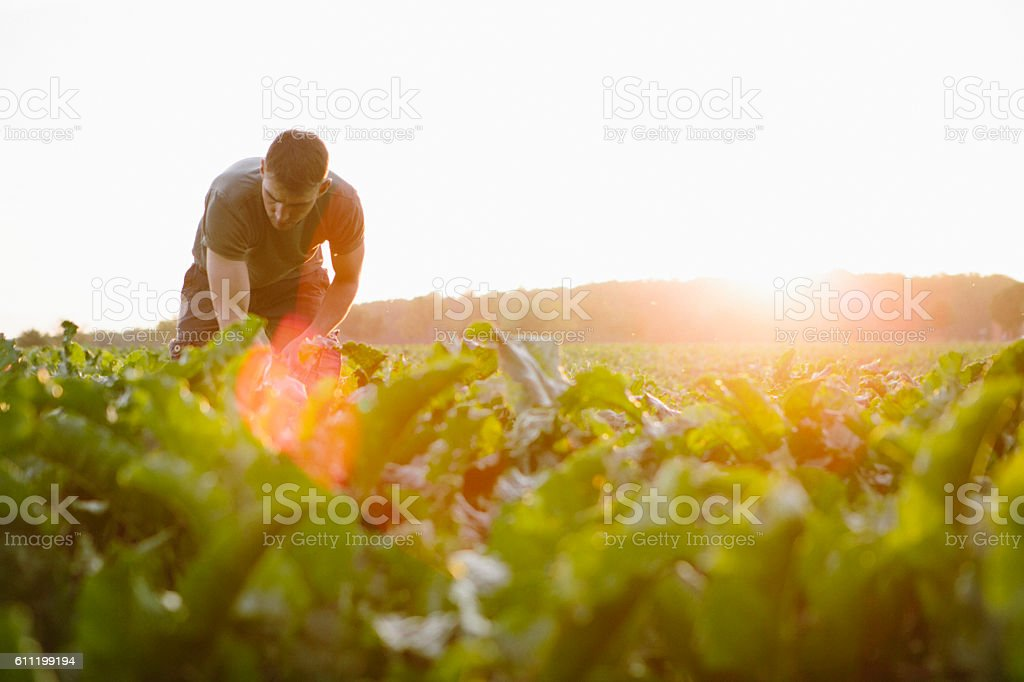 farmer stands in his fields, looks at his sugar beets - foto stock
