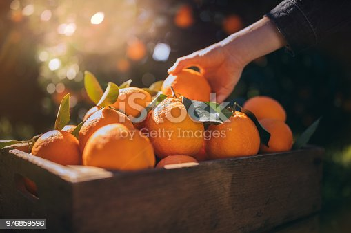istock Farmer taking fresh orange from wooden box in orange orchard 976859596