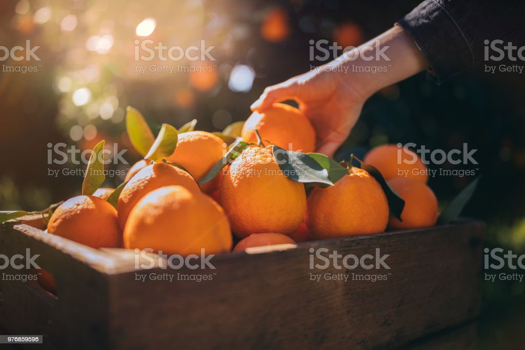 Farmer taking fresh orange from wooden box in orange orchard stock photo