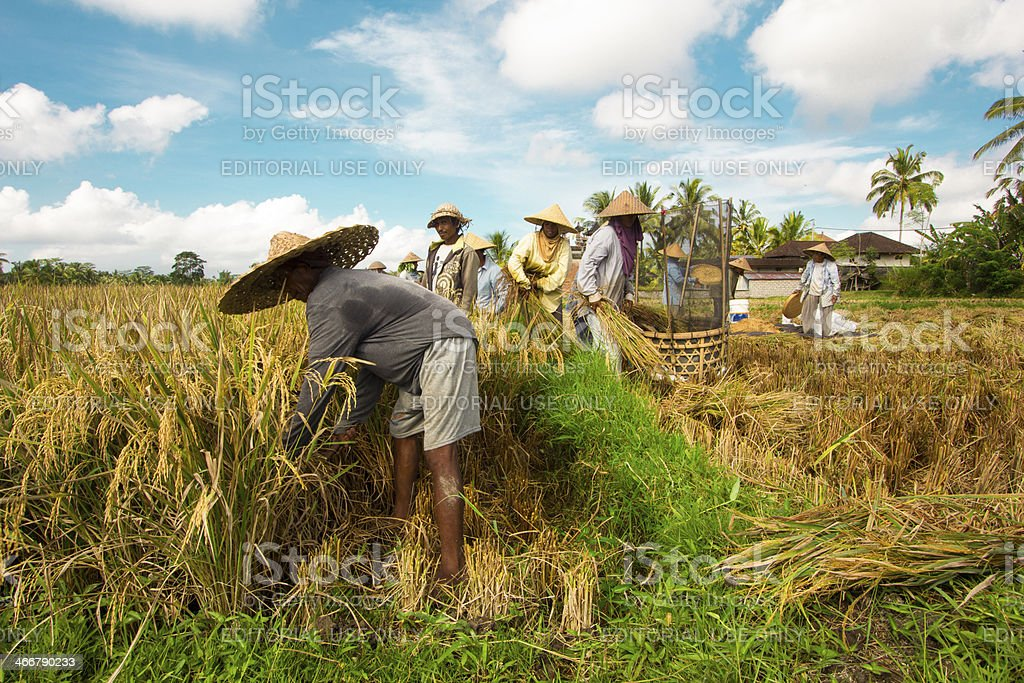 Farmer thresh rice, Bali , Indonesia. stock photo