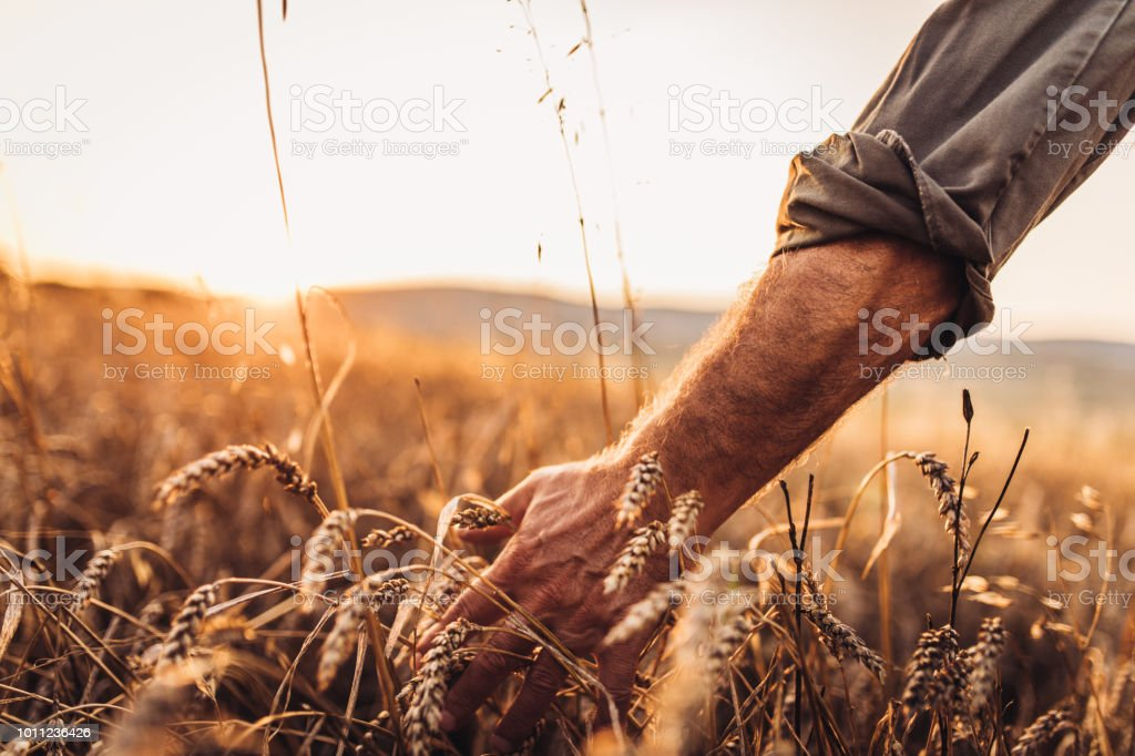 Farmer touching golden heads of wheat while walking through field stock photo