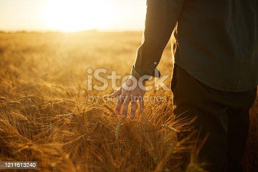 Photo. Farmer touching golden heads of wheat while walking through field.