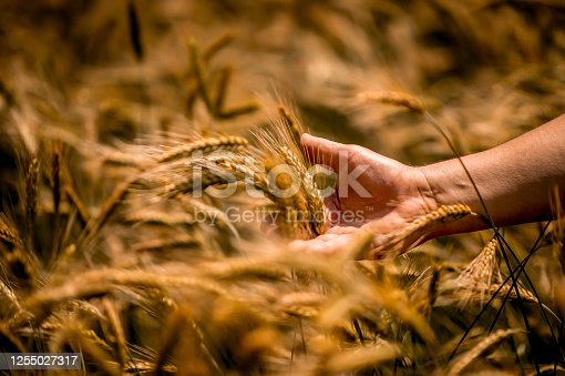 Hand examining ripe wheat crops in field. Male agronomist is checking up if cereal plantation is ready for harvest. Close up image with selective focus.