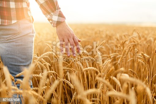 istock Farmer touching his crop with hand in a golden wheat field. Harvesting, organic farming concept 821637638
