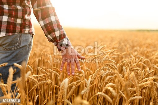 istock Farmer touching his crop with hand in a golden wheat field. Harvesting, organic farming concept 821876216
