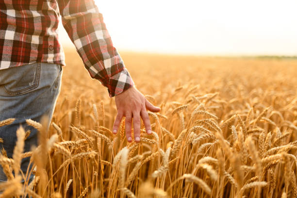 Farmer touching his crop with hand in a golden wheat field. Harvesting, organic farming concept Farmer goes and touches his crop with hand in a golden wheat field. Harvesting, organic farming concept agricultural cooperative stock pictures, royalty-free photos & images