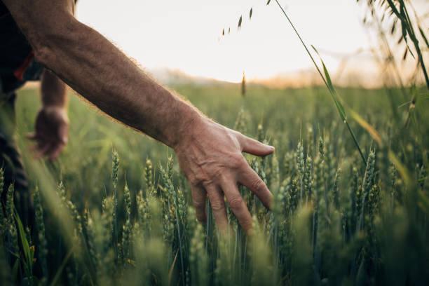 Farmer touching wheat at field stock photo