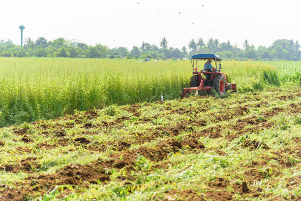 Farmer use Tractor Incorporation the Green manure stock photo
