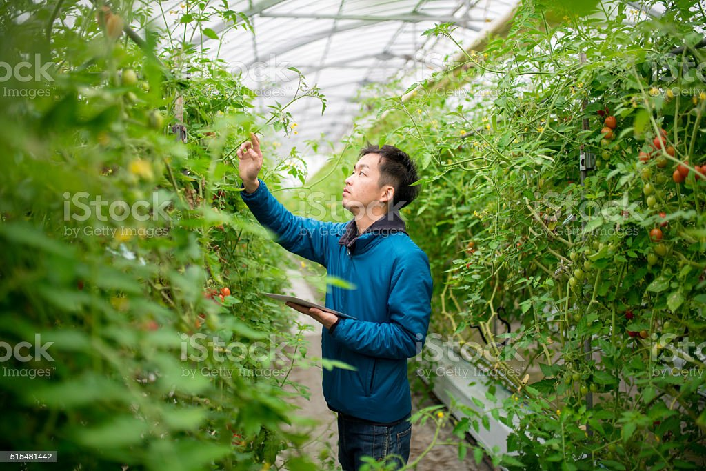 Farmer using a digital tablet in a greenhouse stock photo