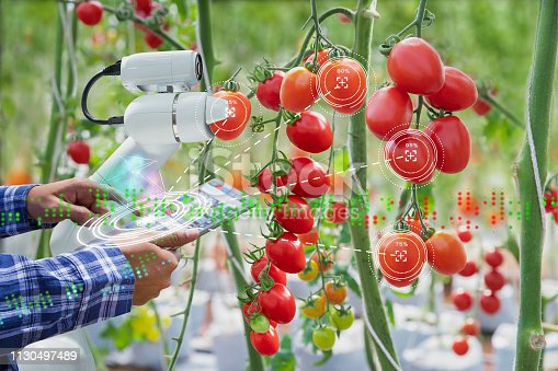 istock Farmer using digital tablet control robot to harvesting tomatoes in agriculture industry, Agriculture technology smart farm concept 1130497489