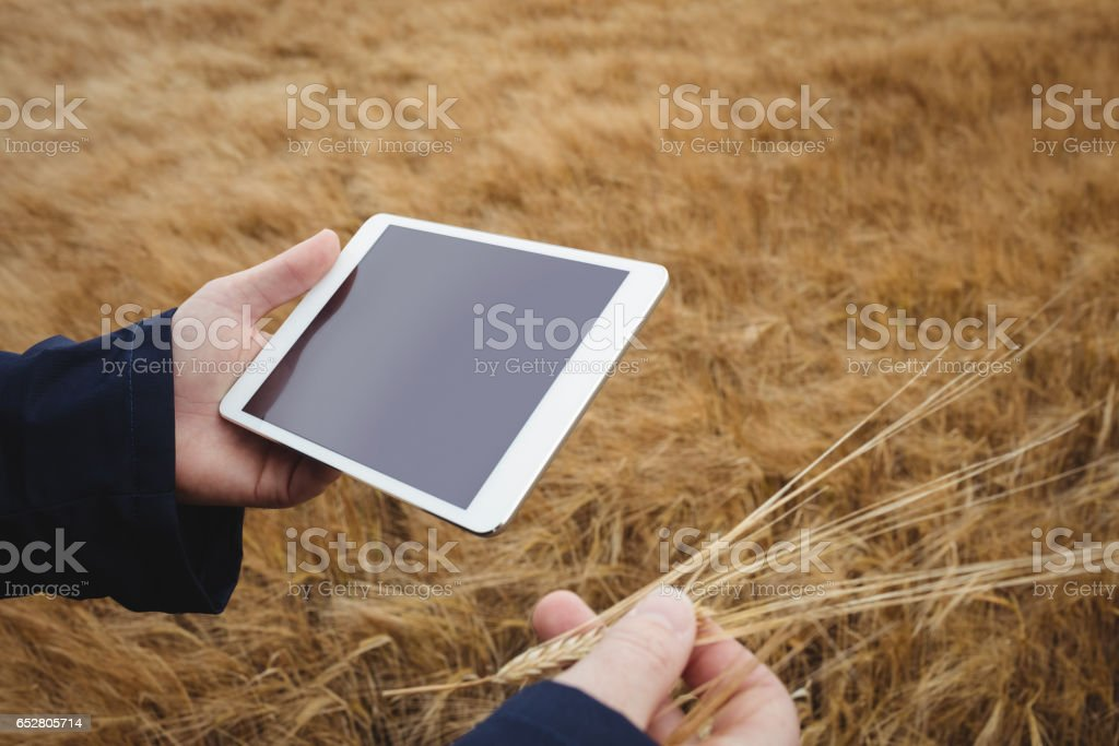 Farmer using digital tablet while checking ears of wheat stock photo
