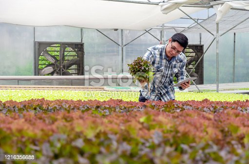 1047941544 istock photo farmer using mobile smart tablet and checking fresh red oak lettuce salad, organic hydroponic vegetable in greenhouse garden nursery farm, agriculture business, hydroponic and smart farming concept 1216356688