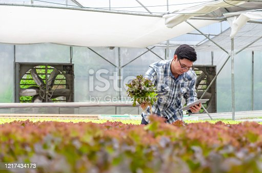 1047941544 istock photo farmer using mobile smart tablet and checking fresh red oak lettuce salad, organic hydroponic vegetable in greenhouse garden nursery farm, agriculture business, hydroponic and smart farming concept 1217434173
