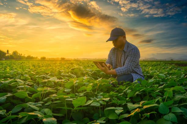 빛이 빛나는 녹두 정원에서 스마트 폰을 사용하는 농부는 일몰을 비춥시다 - 농업 뉴스 사진 이미지