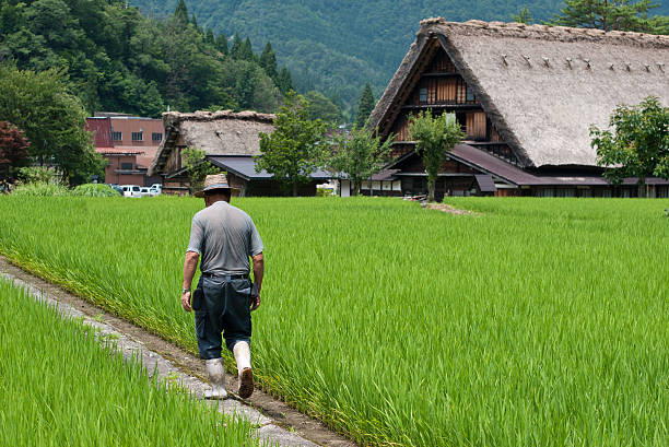 Farmer walking along rice fields in Shirakawago Shirakawago, Gifu, Japan - July 24, 2012 : A farmer walking along rice fields in Shirakawago village, Gifu, Japan land feature stock pictures, royalty-free photos & images